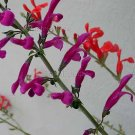 Salvia curviflora 7 seeds V RARE MEXICAN PINK VIOLET Sage