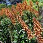 Isoplexis canariensis 20 seeds CANARY ISLAND FOXGLOVE Endangered Rare SHOWY
