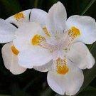 Dietes 'Orange Drop' 10 seeds V RARE New DWARF AFRICAN IRIS Fortnight Lily SALE