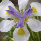 Dietes grandiflora vegeta 30 seeds WHITE AFRICAN IRIS Fortnight Lily EASY SALE