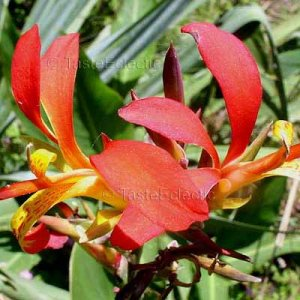 Canna edulis 10 seeds EDIBLE TUBER Lily Red-Yellow Flowers HARDY Z7 SALE