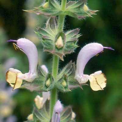 Salvia desoleana 10 seeds AROMATIC SARDINIA SAGE RARE Z7