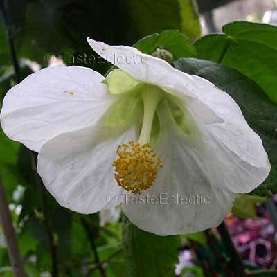 Abutilon hybridum 'Cygnet' 10 seeds LARGE WHITE FLOWERING MAPLE Chinese Bell Flower SALE