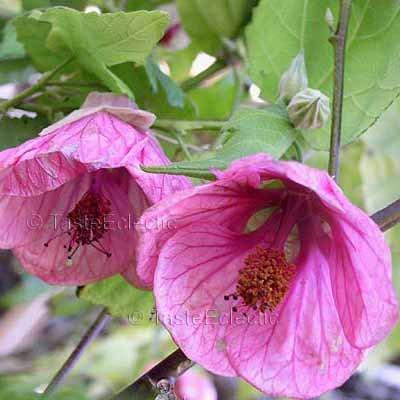 Abutilon hybridum 'Rosalie' 10 seeds LARGE PINK FLOWERING MAPLE Chinese Bell Flower