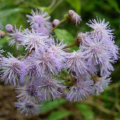 Bartlettina tuerckheimii 20 seeds LANCEOLATE BLUE MIST FLOWER TREE Torch Cloud RARE