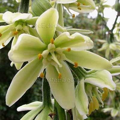 Furcraea roezlii 10 seeds BOLD GENTLE Mexican AGAVE RARE Spectacular SALE Last Call