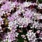 Stevia microchaeta 20 seeds PINK MIST FLOWER TREE Cloud Forest Aster SALE