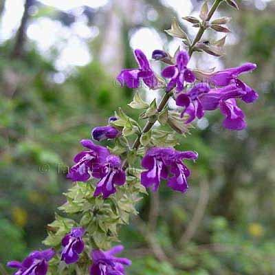 Salvia myriantha 10 seeds V RARE SEE MEXICAN Magenta SAGE SALE