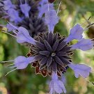 Salvia clevelandii 20 seeds BLUE CLEVELAND FRAGRANT CA Native SAGE RARE