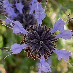 Salvia clevelandii 20 seeds BLUE CLEVELAND FRAGRANT CA Native SAGE RARE