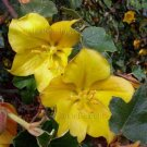 Fremontodendron californicum x mexicanum 5 seeds CALIFORNIA GLORY Flannel Bush AGM