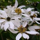 Montanoa sp 5 seeds CHOCOLATE SCENT White GIANT TREE DAISY V RARE