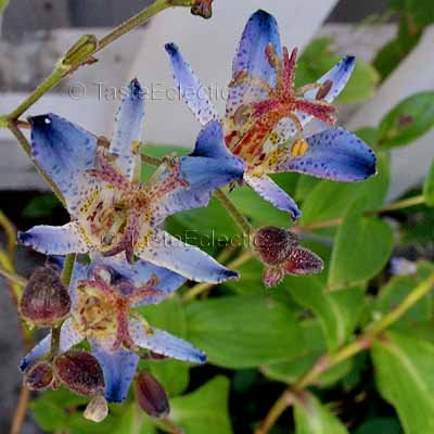 Tricyrtis 'Hatatogisa' 20 seeds HARDY Easy Z4 TOAD LILY Spotted Leaves Blooms Last Call SALE