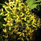 Senecio cobanensis 20 seeds Yellow Tree JUNGLE POMPOM Daisy Hard-To-Find CLOUD FOREST V Rare