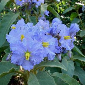 Solanum hispidum 10 seeds GIANT DEVIL FIG Hard-To-Find THORNY PERU TOMATO