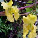 Impatiens scabrida 10 seeds RUGGED YELLOW HIMALAYAN Jewelweed SHADE EASY SALE
