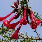 Cantua buxifolia 5 seeds RED MAGIC SACRED FLOWERS OF THE INCAS Rare Iochroma Brugmansia Fuchsia In 1