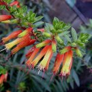 Cuphea micropetala 20 seeds MULTI-COLOR HUMMINGBIRDS Cigar Plant HARD-TO-FIND SALE