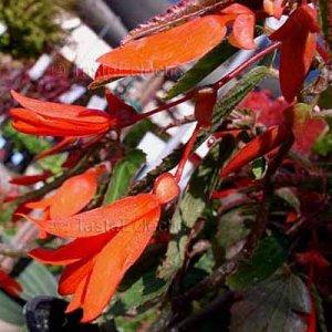 Begonia boliviensis 'Bonfire' ? 25 seeds BOLIVIAN TUBEROUS V RARE Shade Unusual HARDY Z7