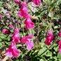 Salvia microphylla 'Cherry Pink' 10 seeds PINK BABY CURRANT SAGE EZ Shade-OK Z7
