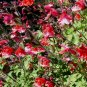 Salvia microphylla 'Red Flowers Red Calyx' 11 seeds BABY BLACKCURRANT SAGE Easy Shade Z7