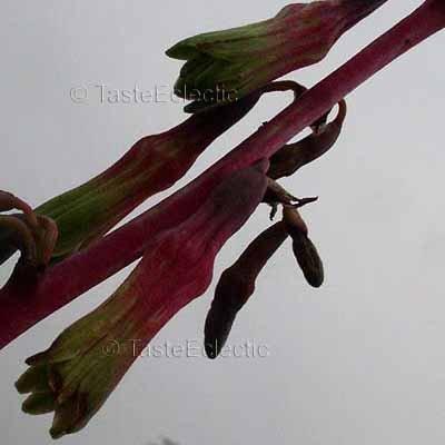 Unknown Beschorneria ? Hesperaloe ? 25 seeds DWARF AGAVACEAE Succulent SALE Last Call