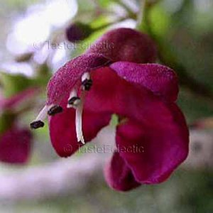 Vitex lucens 4 seeds PURIRI New Zealand Chaste Tree  EXOTIC WINE-RED BLOOMS Berry ODD-SHAPED