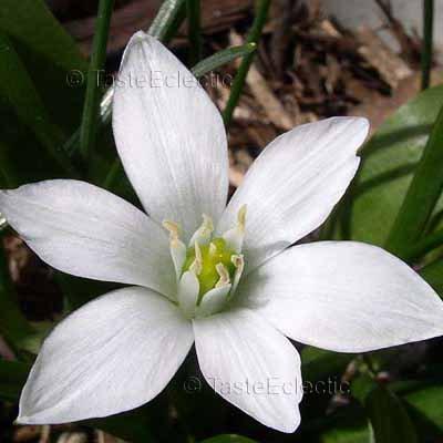 Ornithogalum balansae 24 bulblets V EASY GROW White Star Of Bethlehem HARDY Z5 Small bulbs