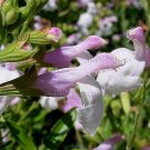 Salvia greggii 'Teresa' 5 seeds AUTUMN SAGE RARE White-Pink BICOLOR Z7