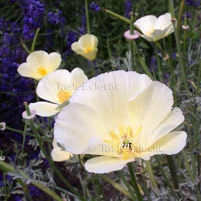 Eschscholzia californica 'Cream' 50 seeds GORGEOUS CALIFORNIA POPPY EZ Drought-tolerant Poor Soil
