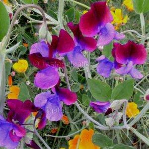 Lathyrus odoratus 'Cupani' 25 seeds OLD FASHIONED Burgundy-Violet SWEET PEA V FRAGRANT SALE