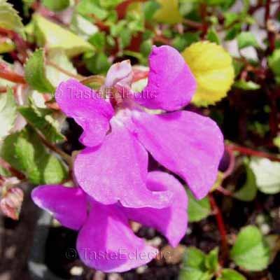 Impatiens hoehnelii 5 seeds V RARE AFRICA Butterfly Balsam