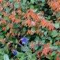 Cuphea cyanea Strybing Peach Caribbean Sunset 10 seeds HUMMINGBIRDS Drought-OK HARD-TO-FIND SALE