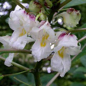 Impatiens White Unknown mishmiensis 6 seeds CHINA ? RARE ? ONLY SOURCE