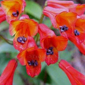 Bomarea sp 'Red Sunset' 7 seeds V RARE CLIMBING Astroemeria PERUVIAN LILY Vine