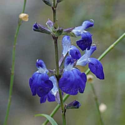 Salvia Mix 8 seeds greggii SHELL DANCER reptans PINK FRILL madrensis GUARANITICA V RARE SAGE