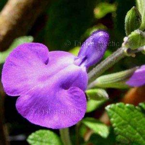 Salvia microphylla x chamaedryoides 'Christine Yeo' 10 seeds PURPLE HARDY SAGE Z7