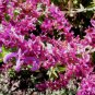 Salvia canariensis 10 seeds CANARY ISLAND BRACTS SAGE Hard-To-Find