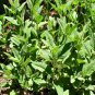 Lepechinia caulescens 10 seeds WHITE HERBAL Mexican PITCHER SAGE Hard-To-Find
