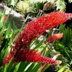 Xeronema callistemon 20 seeds POOR KNIGHTS LILY New Zealand RARE Red Bottlebrush Flax Foliage