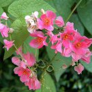 Antigonon leptopus 'Pink' 11 seeds PINK CORAL VINE Chain Of Love BUTTERFLIES