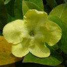 Brunfelsia americana 5 seeds LADY OF THE NIGHT V Fragrant Shrub