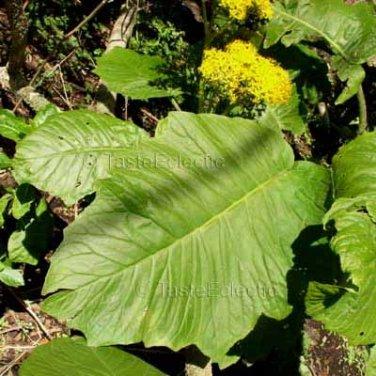 Telanthophora grandifolia 20 seeds HUGE LEAVES Yellow Daisy TREE GROUNDSEL V RARE