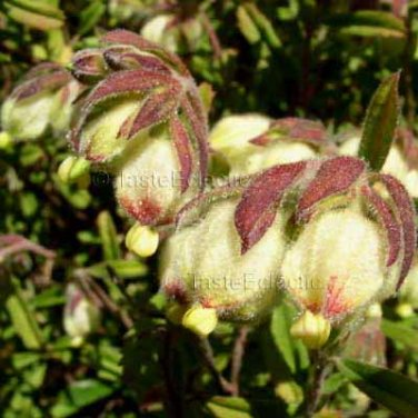Hermannia hyssopifolia 20 seeds DOLL'S ROSES Puckled Balloon 8 DAY HEALING BUSH Hard-To-Find