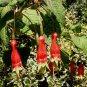 Fuchsia splendens 20 seeds CHILI PEPPER Hard-To-Find SALE