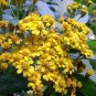 Squamopappus skutchii 20 seeds GUATEMALAN SUNFLOWER BUSH Cloud Forest Daisy V RARE