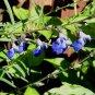 Salvia reptans 'West Texas' 10 seeds UPRIGHT COBALT BLUE Sage Z6