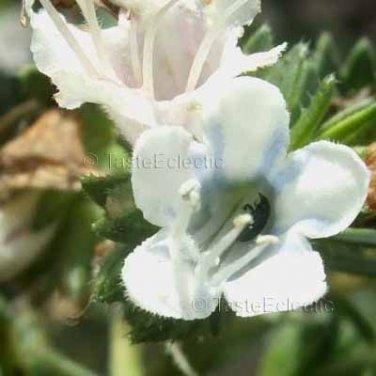 Echium decaisnea 11 seeds HARD-TO-FIND Canary Island Pride Of Madeira White-Blue Vein
