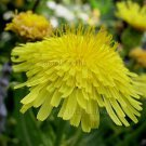 Sonchus hierrensis 20 seeds CANARY ISLAND SOWTHISTLE Dandelion HARD-TO-FIND