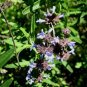 Salvia brandegeei 'Pacific  Blue' 10 seeds SANTA ROSA ISLAND SAGE Hard-To-Find FRAGRANT BEES